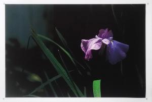 Iris by Guy Pushée