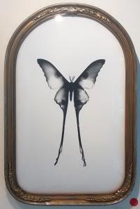 Comet Moth, Male by Melissa Wilgis